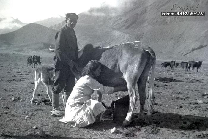 دوشیدن گاو – ییلاق آمل