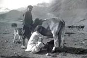 دوشیدن گاو - ییلاق آمل